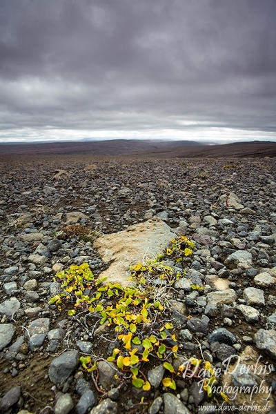 iceland, highland, remote, lava, flower, volcanic, ashes, mountains, canon, assignment, remote, rare, striking, beauty, photo