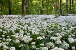 park, forest, wild garlic, leipzig, germany, 2011, photo