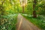 forest, sun, flowers, sunset, sunstar, wild, garlic, leipzig, germany, 2016, Stock Images Germany, photo