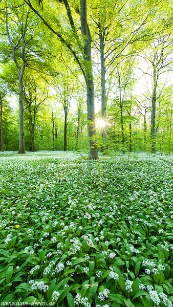 sunset, forest, sunstar, garlic, flower, spring, leipzig, germany, 2015, photo