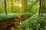 forest, sun, flowers, sunset, sunstar, wild, garlic, leipzig, germany, 2016, photo