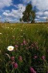 harz, meadow, flower, summer, tree, germany, 2010, photo