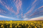 sunset, field, canola, brumby, clouds, germany, Germany, photo
