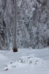 winter, snow, harz, cold, frozen, tree, fir, germany, 2013, photo