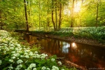 forest, sun, flowers, sunset, sunstar, river, reflection, wild, garlic, leipzig, germany, 2016, photo