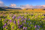 field, flowers, wild, lupines, volcanic, mountains, sunset, golden hour, iceland, 2017, photo