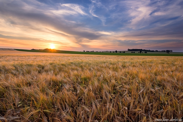 brumby, sunset, golden hour, corn, field, rural, sun, summer, germany, 2018, photo