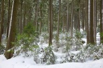 forest, snow, winter, harz, national park, fir tree, schnee, saxony-anhalt, sachsen-anhalt, germany, photo