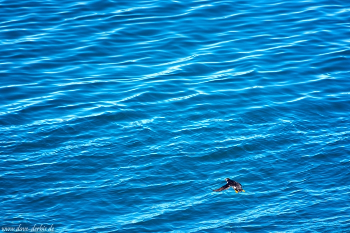 bird, wild, puffin, water, bay, iceland, 2017, photo