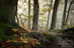 forest, harz,  autumn, national park, trees, sachsen-anhalt, saxony-anhalt, germany, photo