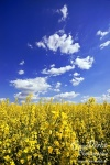 field, coleseed, brumby, summer, yellow, rape, raps, blue, sky, clouds, germany, photo
