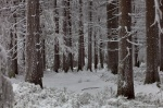 hiking, winter, snow, harz, cold, frozen, tree, fir, germany, 2013, photo