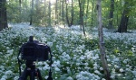 greetings, forest, sunrise, meadow, garlic, leipzig, photo