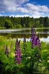 harz, lake, flower, summer, wild, germany, photo