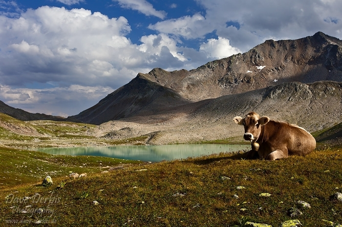 mountain, lake, alpine, cow, clouds, trail, pass, swiss, 2012, photo