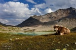 mountain, lake, alpine, cow, clouds, trail, pass, swiss, 2012