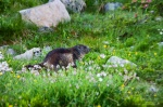 meadow, alpes, mountain, marmot, hohe tauern, national park, austria, photo