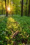 forest, spring, sunset, golden hour, wild garlic, sunstar, germany, leipzig, 2020, Germany, photo