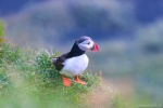 puffin, wild, bird, animal, coast, summer, iceland, 2016, Iceland, photo