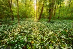 forest, sun, flowers, sunset, sunstar, wild, garlic, leipzig, germany, 2016, Latest Photos (Past one Year), photo