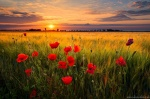 sunset, golden hour, field, flowers, sun, wild, rural, germany, 2020, photo