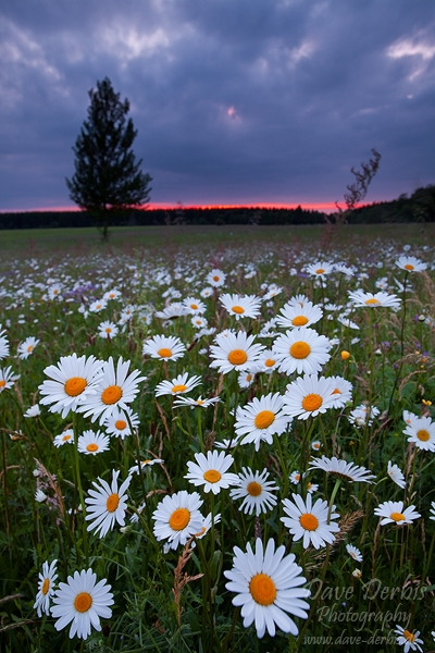 harz, meadow, flower, sunset, daisies, photo