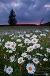 harz, meadow, flower, sunset, daisies, Germany, photo