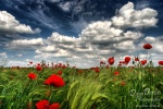 summer, field, poppy, flower, sommer, garten, garden, corn, korn, mohn, wild, red, beautiful, wunderschön, blau, grün, rot, blue, green, red, white clouds, blue sky, summer garden, photo