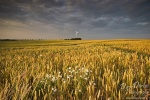sunset, corn field, golden light, flower, summer, gold, light, germany, Mensch und Natur Kalender Fotos, photo