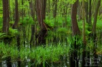 wild, forest, baltic sea, wood, swamp, photo