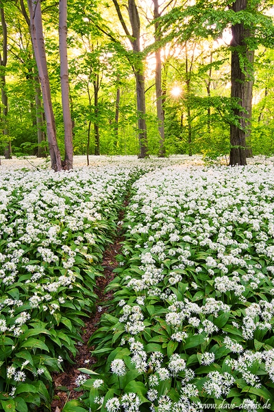 latest, sunset, forest, sunstar, garlic, flower, spring, leipzig, germany, 2015, photo