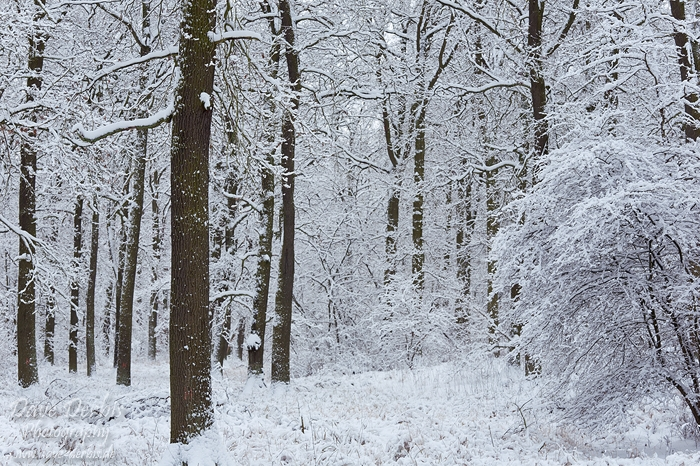 winter forest trees snow - photo #10